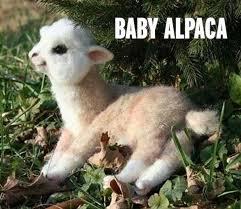 Alpaca Sheep Meme - baby alpaca rebrn com