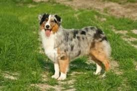 south dakota australian shepherd australian shepherd breed information and pictures on puppyfinder com