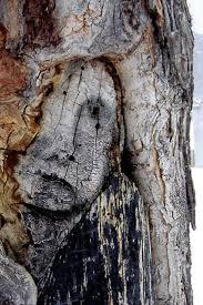 tree face natural pareidolia 13 faces on trees pareidolia face on tree