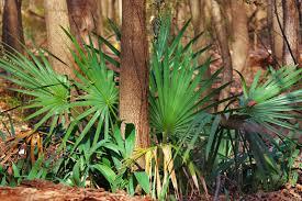 plants native to north texas dallas trinity trails the wild palm trees of dallas county
