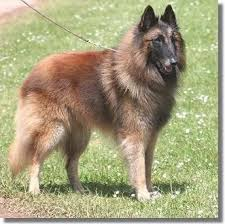 belgian shepherd washington state 11 best dogs belgian tervuren images on pinterest belgian