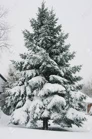 pine tree tops covered in snow stock photo picture and royalty
