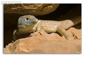 Seeking Lizard Omanosaura Jayakari Jayakar S Oman Lizard