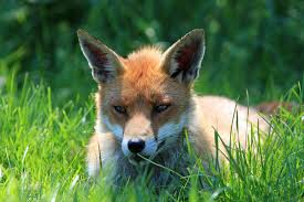 fox resting portrait free stock photo public domain pictures