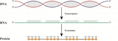 from dna to rna to protein how does it work