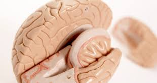 What Portion Of The Brain Controls Respiration Medulla Brain Functions Livestrong Com