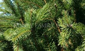 spruce trees for sale weeping evergreen conifers