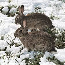 rabbit rabbit rabbit facts pets britannica
