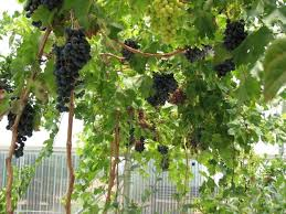 growing grapes in containers general fruit growing growing fruit