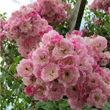 Fragrant Rose Plants - climbing rose bushes fragrant climbing rambling bush shrub