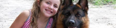 belgian sheepdog for sale uk harrison k 9 fine european german sheperds personal protection