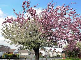 Trees With Pink Flowers Pictured The Spectacular Cherry Tree With Cascades Of White And