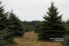 fresh cut christmas trees on the old mission peninsula at switz r land