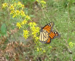 oklahoma native plants goldenrod good for gardens using georgia u0027s native plants