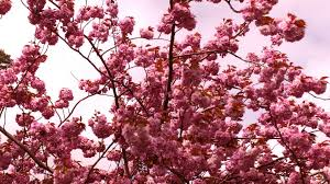 cherry blossom trees free stock photo public domain pictures