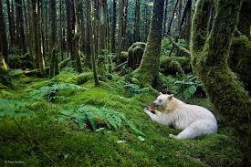 spirit bear in a moss draped rainforest in british columbia