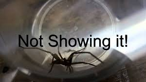 how to telll a brown recluuse from a southern house spider mp4