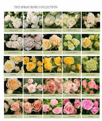 wholesale roses eufloria spray roses utah wholesale flowers wright flower company