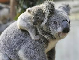 koala fun facts kids