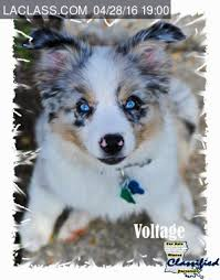 australian shepherd puppies near me louisiana free classifieds pets free ads