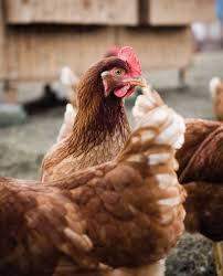 raising backyard chickens animals grit magazine
