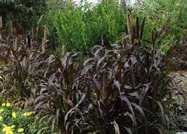 cullen garden guru ornamental grasses