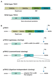 tobacco rattle virus u2013based virus induced gene silencing in
