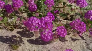 super bloom anza borrego youtube
