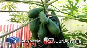 khmer news cambodia backyard garden in sydney p2 cbn tv youtube