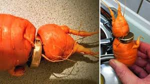carrot ring finds his lost wedding ring growing on a carrot in germany