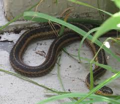 reptiles backyard and beyond