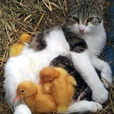 cat adopts orphaned ducklings with her litter of kittens love meow