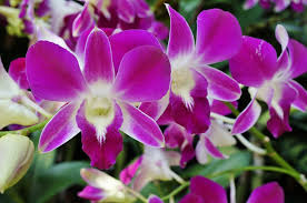 orchids pictures how to care for bamboo orchids which gardening helpdesk