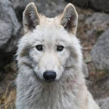 California Wildlife images Huge victory northern california wildlife is now protected from jpg