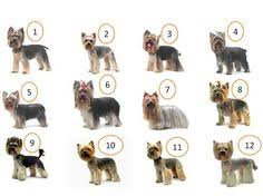 haircuts for yorkie dogs females explore yorkie haircuts pictures and select the best style for