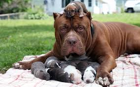 bow wow u0027s largest pit bull hulk fathers puppies