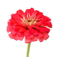 Zinnias Flowers Meaning Of Zinnias What Do Zinnia Flowers Mean
