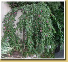 leu gardens red camellia tree front flower beds gardens and