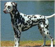 dalmatian dog breed facts personality traits hill u0027s pet