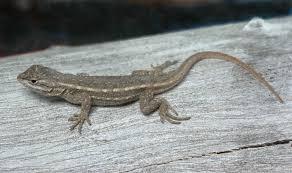 Seeking Lizard Southwestern Fence Lizard Tucson Herpetological Society