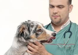 australian shepherd kidney disease learn about the australian shepherd dog breed from a trusted