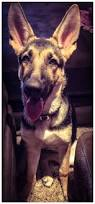 9 best scooby images on pinterest german shepherds dog mixes