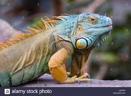 a male green iguana stock photos u0026 a male green iguana stock