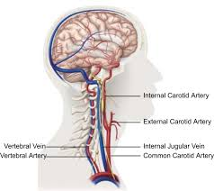 Anatomy And Physiology Of The Brain Technical Recommendations For The Use Of Carotid Duplex Ultrasound