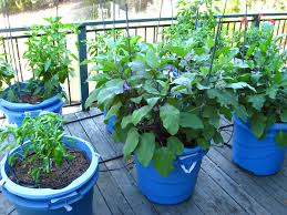 Hanging Vegetable Gardens by Vegetable Gardening In Blue Containers For Small Patio Spaces With