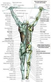 The Human Anatomy Muscles Major Muscles Of The Body With Their Common Names And Scientific