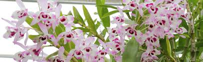 dendrobium orchids blooming noble dendrobium orchids orchid plant care