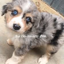 3 winds ranch australian shepherd mini aussie ranch vapedoggie twitter