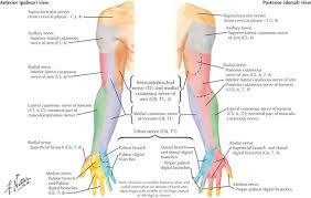 Innervation Of Infraspinatus Mononeuropathies Of The Upper Extremities Clinical Gate