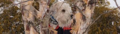 wheaten terrier ornaments wheaten terriers